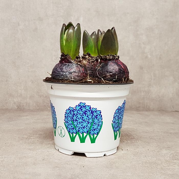 Koper_hyacint_12_blauw